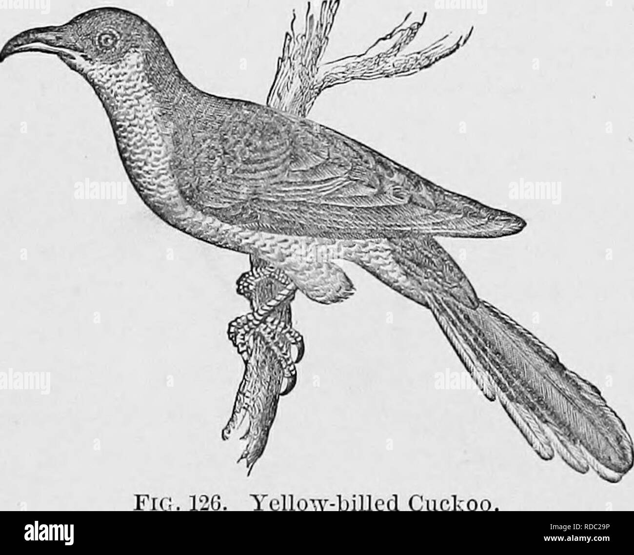 . Key to North American birds; containing a concise account of every species of living and fossil bird at present known from the continent north of the Mexican and United States boundary. Illustrated by 6 steel plates and upwards of 250 woodcuts. Birds. 190 CUCULID^, CUCKOOS. GEN. 128. Four or five genera, and perhaps twenty species ; none parasitic. Ours are strictly arboricole birds of litlie form, blended plumage and subdued colors ; the head is not crested ; the tibial feathers are full, as in a hawk ; the sexes are alike, and the j'oung scarcely ditt'erent. In the following, the upper par - Stock Image