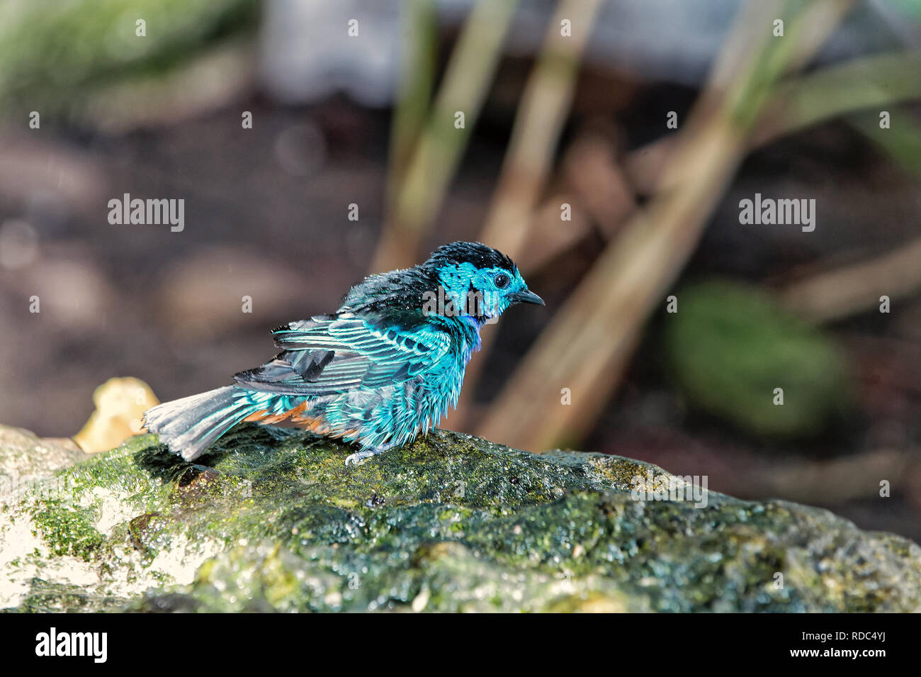 Beautiful Small Blue Bird With Water Drops On Feather Perching On Branch Sitting On Stone On Natural Background Stock Photo Alamy