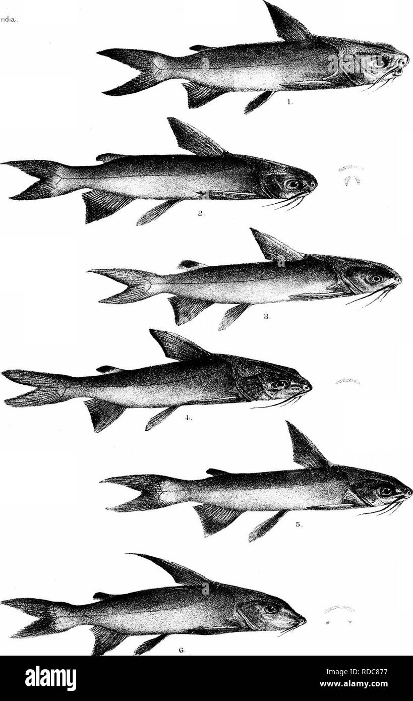. The fishes of India; being a natural history of the fishes known to inhabit the seas and fresh waters of India, Burma, and Ceylon. Fishes. Days I'lshes of India/. PkXe CVI. R.Mmtern.del et lith. rW»^ 1 ARIUS THALASSINUS. 2. AVENOSUS. 3-A.JELLA. 4.. ARIUS JAriUS. 5. A.FALCARIUS 6. A. SUBROSTRAFUS. MinLerr.. Bros jmn. Please note that these images are extracted from scanned page images that may have been digitally enhanced for readability - coloration and appearance of these illustrations may not perfectly resemble the original work.. Day, Francis, 1829-1889. London, B. Quaritch - Stock Image