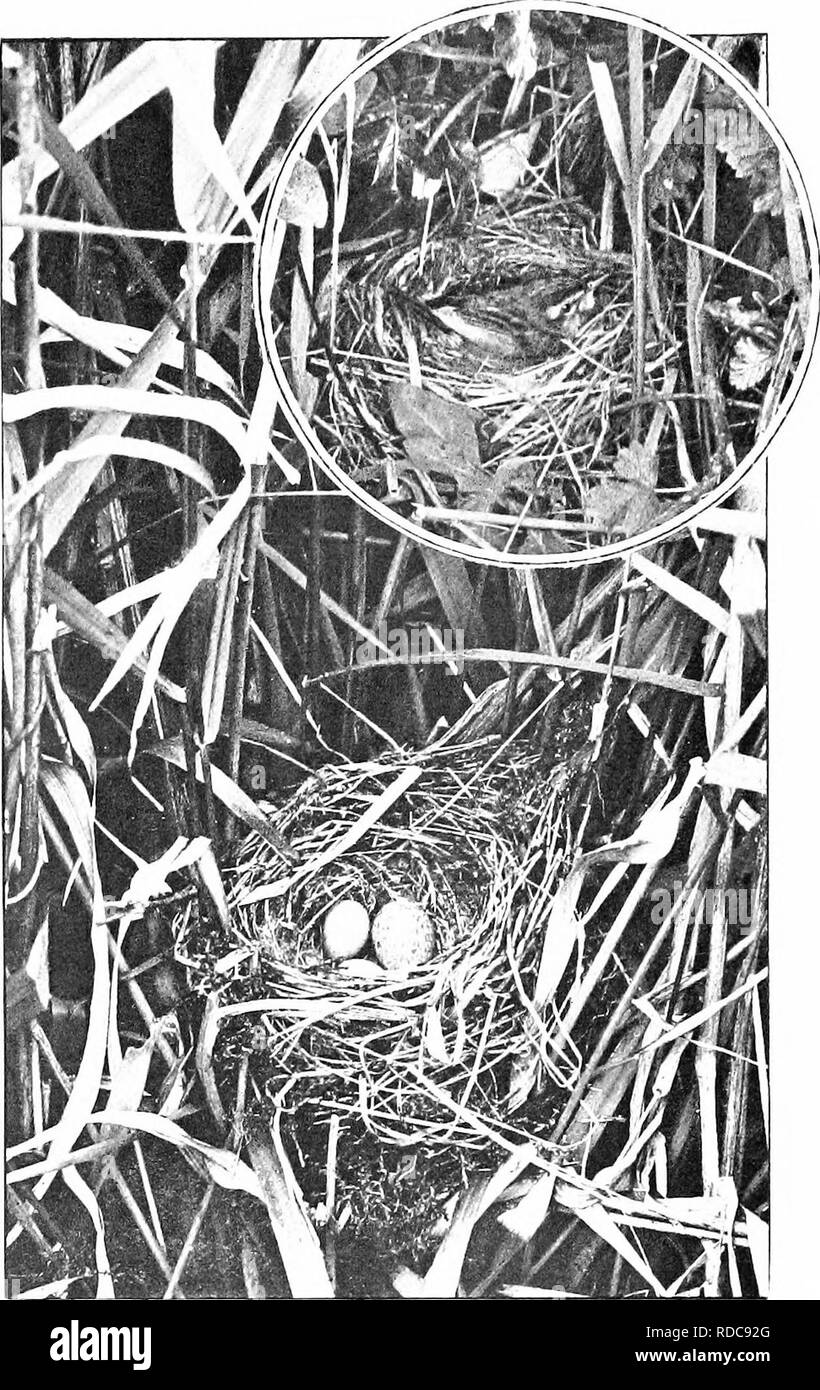 . Nature's carol singers. Birds. SEDGE WARBLER'S NEST WITH CUCKOO'S EGG IN IT. K SEDGE WARBLER ON NEST.. Please note that these images are extracted from scanned page images that may have been digitally enhanced for readability - coloration and appearance of these illustrations may not perfectly resemble the original work.. Kearton, Richard, 1862-1928; Kearton, Cherry, 1871-1940, illus. London, New York [etc. ] Cassell and Co. , Ltd. - Stock Image