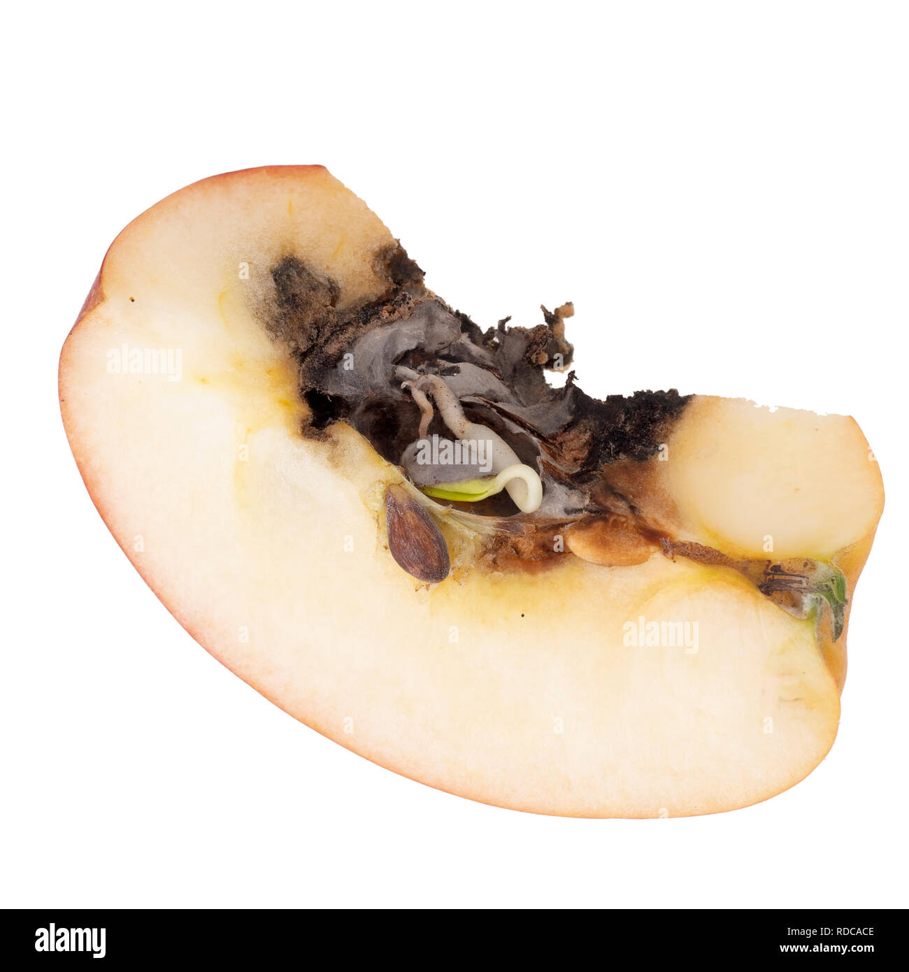 Vivipary in apple. Sliced to clearly show seeds, pips are already growing in the core when the fruit is cut open. - Stock Image