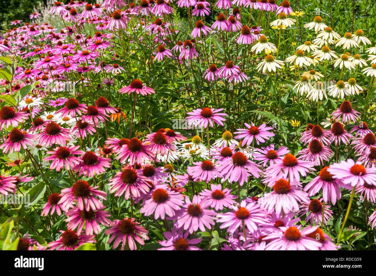 Perennial flowers border garden plant, Echinacea - Stock Image