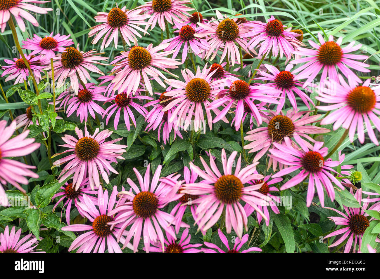 Perennial garden flower border plant, Echinacea - Stock Image