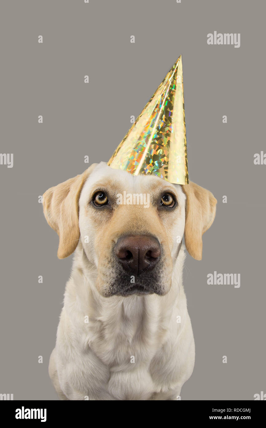 DOG IN GOLDEN BIRTHDAY OR NEW YEAR HAT LABRADOR RETRIEVER CELEBRATING A PARTY ISOLATED STUDIO SHOT AGAINST GRAY COLORFUL BACKGROUND