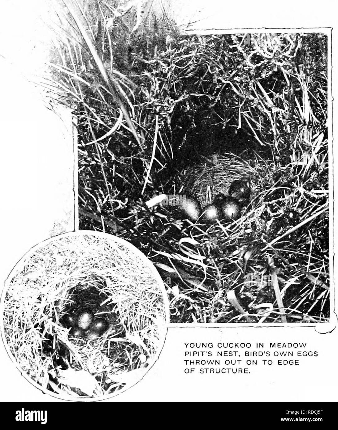 . Nature's carol singers. Birds. THE CUCKOO. to lay, watched the nest of some small bird until the owner left it in search of food, when she stealthily sat down and dropped one of her own eggs into the structure. Unfortunately for this theory, -it would ..not hold good in the case of domed nests built by such species as the ComnlQii' i Wren /-'and ^^'illow ^^'arbler,. YOUNG CUCKOO IN MEADOW P P T S NEST, BIRD'S OWN EGGS THROWN OUT ON TO EDGE OF STRUCTURE. CUCKOO'S EGG IN MEADOW PIPIT'S NEST,. Please note that these images are extracted from scanned page images that may have been digitally enha - Stock Image