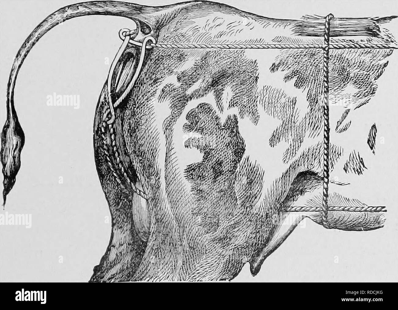 """. Veterinary obstetrics; a compendium for the use of students and practitioners. Veterinary obstetrics. ACCIDENTS FOLLOWING PARTURITION. 109 """"NA'^hen sutures are adopted, it is better to use some of â each; two Hip, and two or three Labial, being quite sufficient to retain the uterus in position. Another very common method is by a truss, which may be composed of leather, webbing, or rope, and """"when the former of these is properly made, it is easy to affix it to a roller round the chest, or waist.. Fig. 50. Lund's Truss Applied. In the absence of a truss, a rope, 25 to 30 feet long, m - Stock Image"""