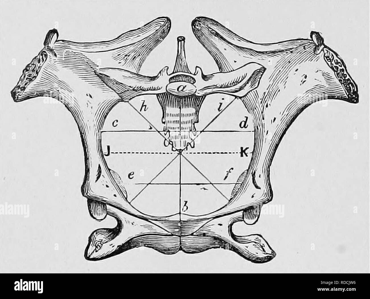 . Veterinary obstetrics; a compendium for the use of students and practitioners. Veterinary obstetrics. i6 VETERINARY OBSTETRICS. The outlet of the Mare's pelvis Is limited above by the apex of the sacrum and the base of the coccyx, and below by the Ischial arch formed by the junction of the two ischia; and laterally by the upper surface of the ischia, and posterior border of the sacro-sclatic ligaments. The diameters are usually less than those of the Inlet. The pelvis of the Cow is longer than that of the Mare, and not so vertical; the Ischlo-pubic symphysis is longer, and is very curved, ma - Stock Image