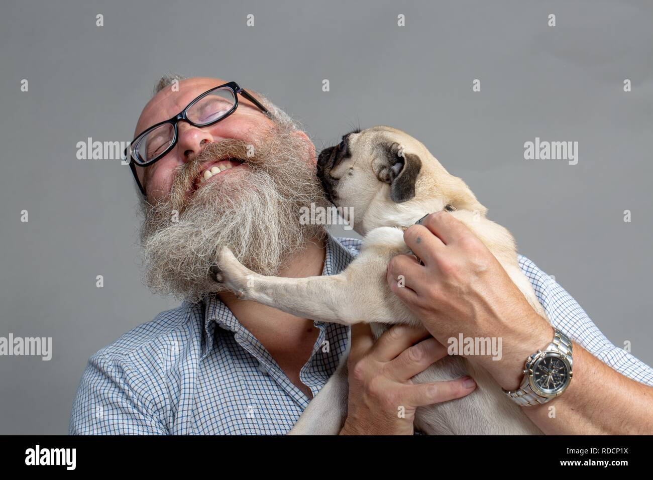 Grey-bearded man enjoying dog kisses from a 8-month-old pug. First meeting. - Stock Image