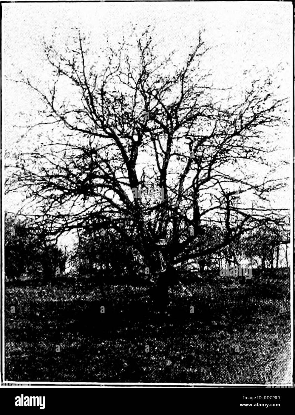 . Soils and plant life as related to agriculture . Agriculture; Soils; Plants. FRUIT GROWING 301 growth. From the buds, which may be readily found on these arms, are to come the branches that will bear the fruit. The grape should be pruned in the late winter, when all the wood should be cut away save the old stems and four 7iew branches, less than one year old, which will form the arms of the two T's. Raspberries and Blackberries. — Soon after these berries have been picked, the canes which bore them die, and beside them, growing up from the same root, are found new canes. The old canes should - Stock Image