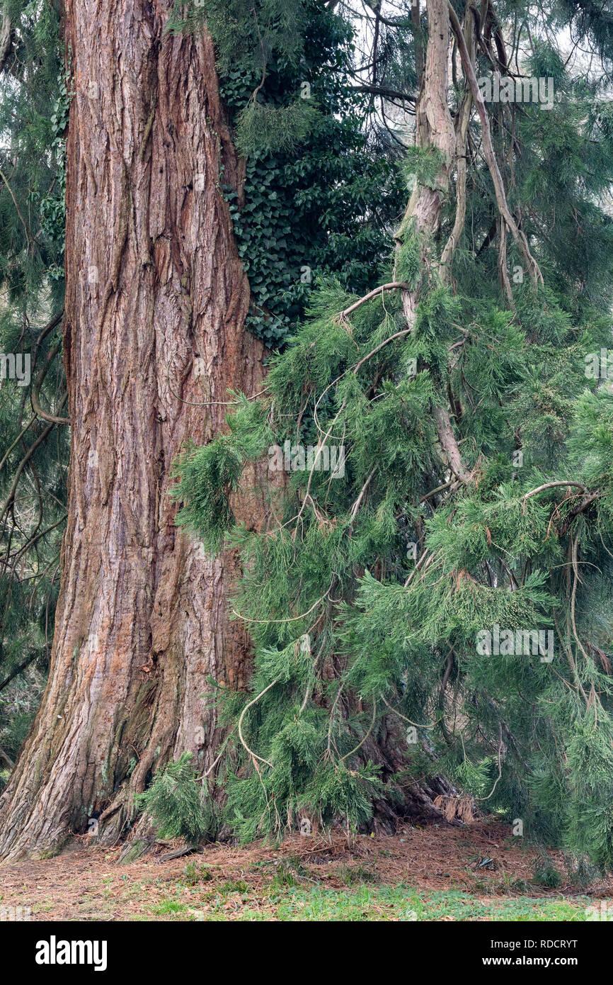 Sequoiadendron giganteum - Giant Redwood - Giant Sequoia at  Westonbirt, The National Arboretum, Gloucestershire, England Stock Photo
