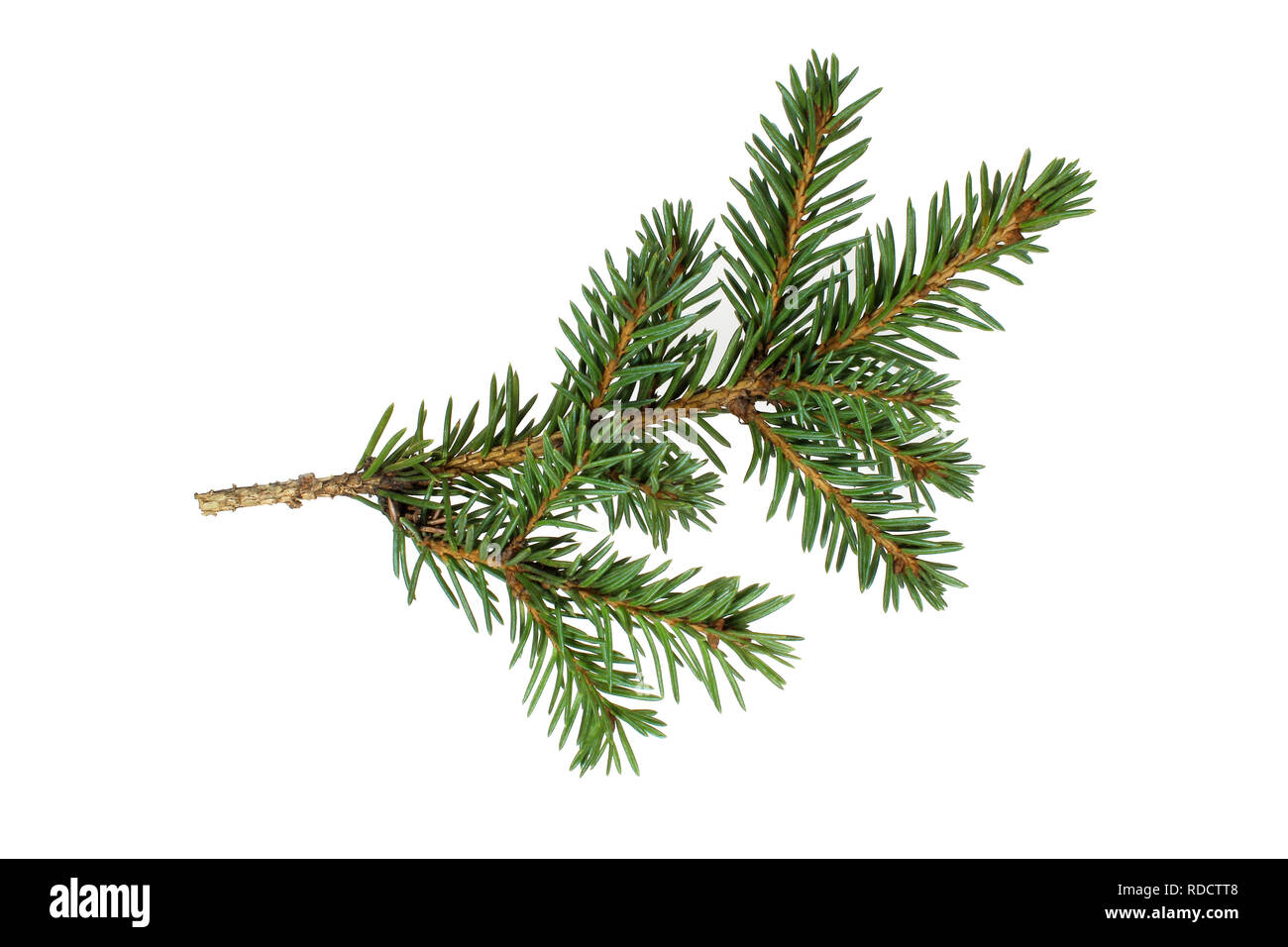 The branch of spruce - Stock Image