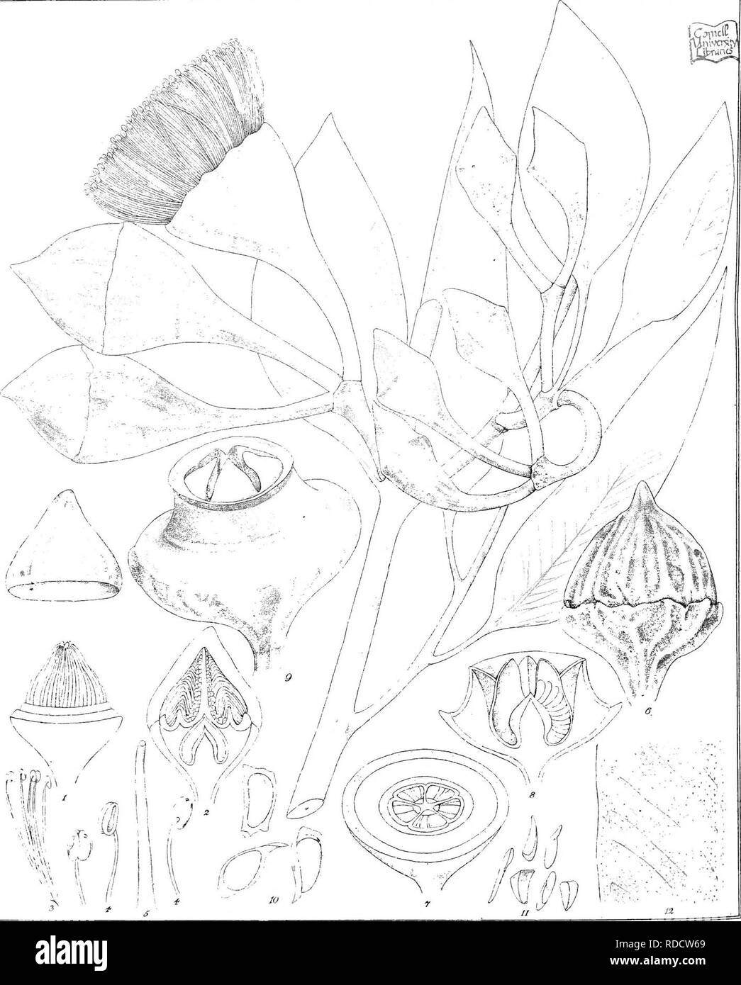""". Eucalyptographia. A descriptive atlas of the eucalypts of Australia and the adjoining islands;. Eucalyptus; Botany. Un del C Trrede: ScC"""" LSi-. E.yMdJTexil STream Li^ho 5oy Prmliog Office Malb. 3i(giilf]!)te ]f^i?il)i?ak, Turczdnmow. Please note that these images are extracted from scanned page images that may have been digitally enhanced for readability - coloration and appearance of these illustrations may not perfectly resemble the original work.. Mueller, Ferdinand von, 1825-1896. Melbourne, J. Ferres, Govt. Print; [etc. ,etc. ] - Stock Image"""