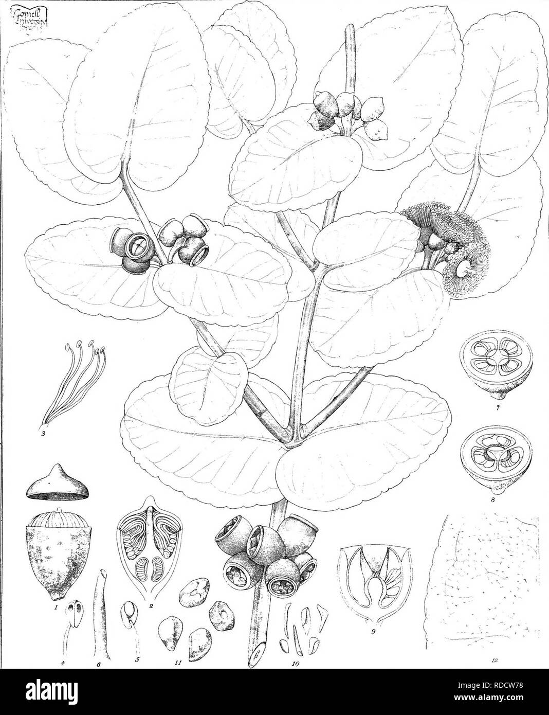 . Eucalyptographia. A descriptive atlas of the eucalypts of Australia and the adjoining islands;. Eucalyptus; Botany. Zjil disl CTrcede. & C°li;?. F.vM direr it. Sleam Lill-io Got Pri!.'::!^- Offici :,;elb. ii(g|%]pte (g®2#ite, ZdMlldrdiere.. Please note that these images are extracted from scanned page images that may have been digitally enhanced for readability - coloration and appearance of these illustrations may not perfectly resemble the original work.. Mueller, Ferdinand von, 1825-1896. Melbourne, J. Ferres, Govt. Print; [etc. ,etc. ] - Stock Image