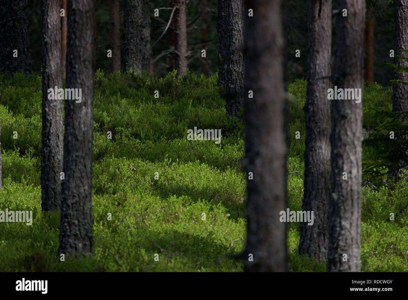 A bilberry carpet covering the forest floor. - Stock Image