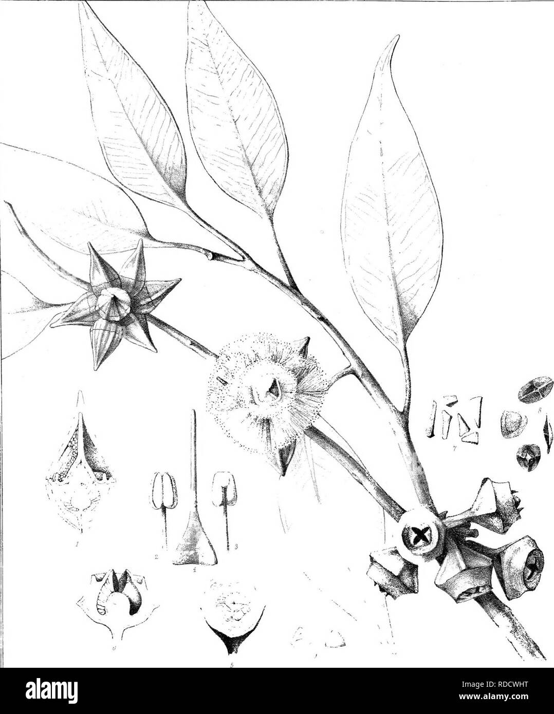 . Eucalyptographia. A descriptive atlas of the eucalypts of Australia and the adjoining islands;. Eucalyptus; Botany. m. •.A.,r-.n.lr-t> -, :-t>, f-.-r,nMu.= i| l-m^]:fi}mi) })2iejry;p}iyllii./^ CTroedi »r'^' ^--f^. Please note that these images are extracted from scanned page images that may have been digitally enhanced for readability - coloration and appearance of these illustrations may not perfectly resemble the original work.. Mueller, Ferdinand von, 1825-1896. Melbourne, J. Ferres, Govt. Print; [etc. ,etc. ] - Stock Image