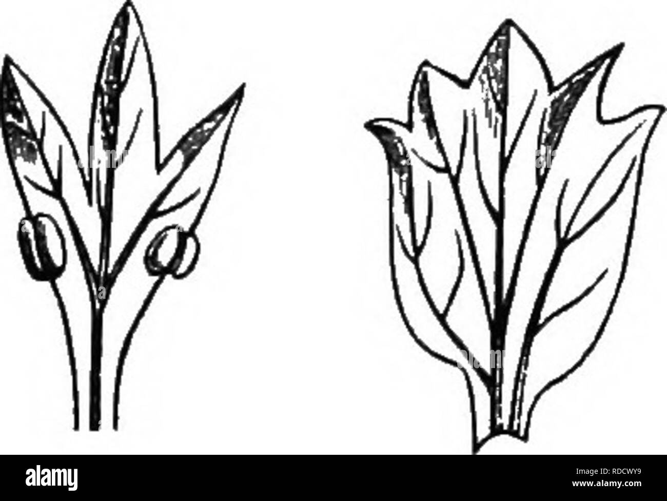 """. The origin of floral structures : through insect and other agencies. Plants; Flowers; Flowers. 302 THE STRUCTURE OF FLOWERS. (Fig. 83, c). A curious foliaceous modification is described by Miiller and figured by Masters,* in which the metamor-. Fig. 83.—o, Foliaceous stamen, and h, petal of the Alpine Strawberry (after Le Maout and Decaiene); c, stamen ol """" Green Rose."""" phosed stamen had the appearance of two leaves united by their mid-ribs. It occurred in JatropTia Pohliana (Fig. 84). This will be alluded to again, as pecu- liarly significant. Phtllodt op the Carpels and Ovules.—T - Stock Image"""