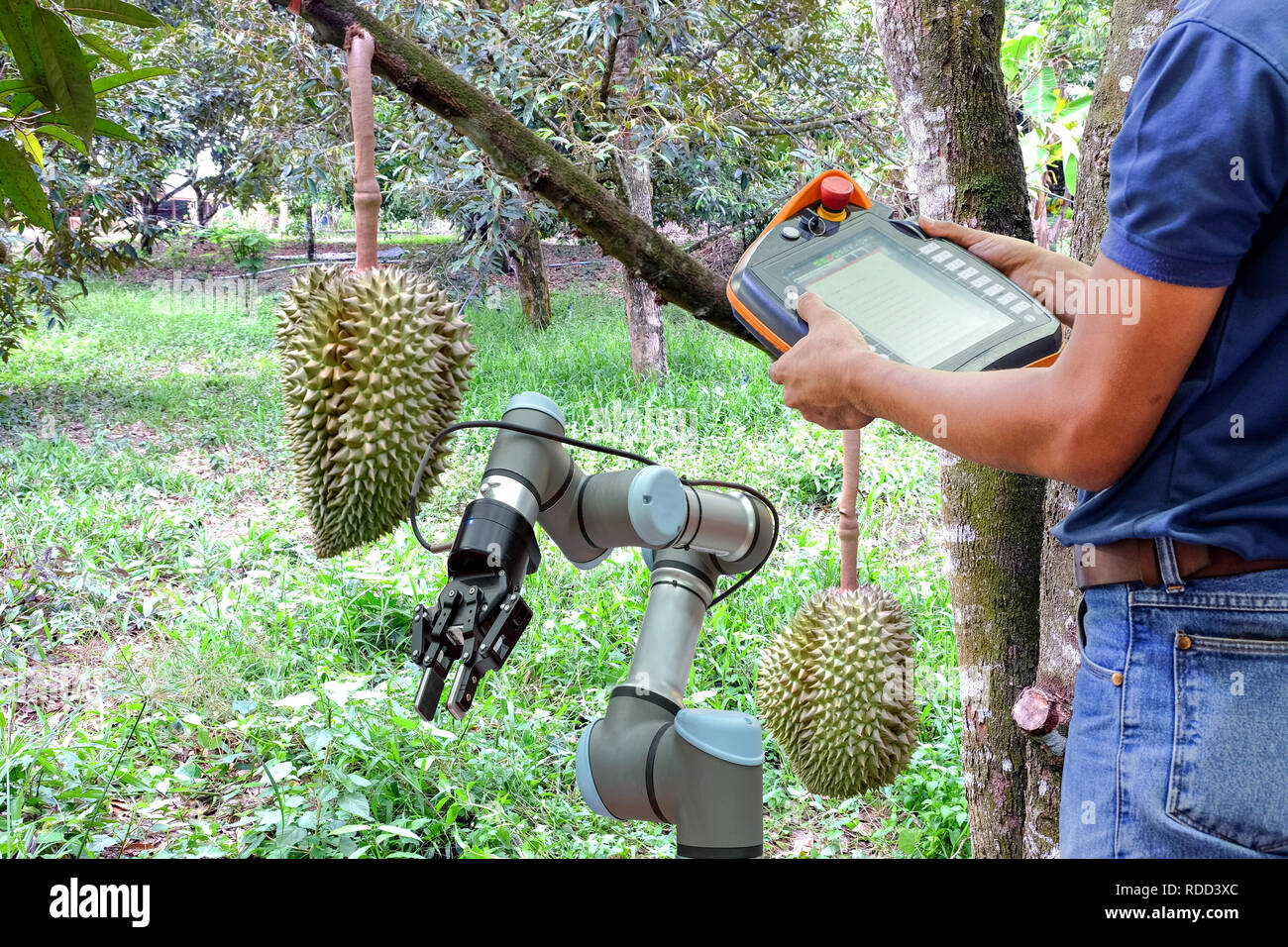 Engineer use remote control for industrial robots to monitor work functions, helping farmers harvest Durian in the garden - Stock Image