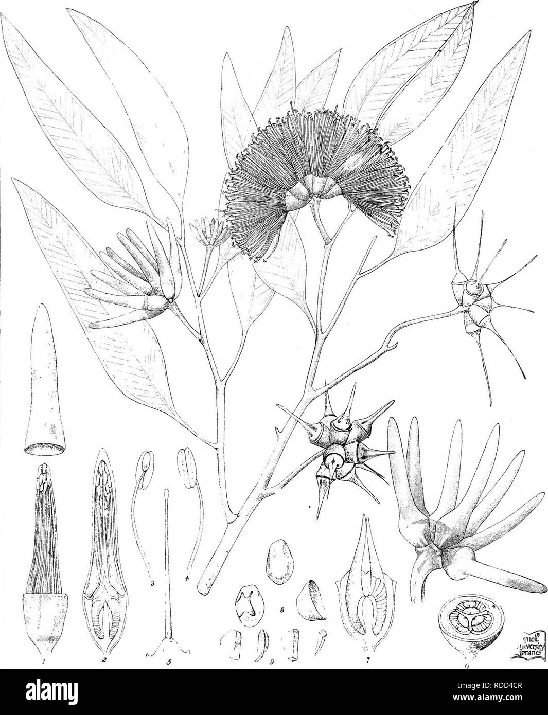 . Eucalyptographia. A descriptive atlas of the eucalypts of Australia and the adjoining islands;. Eucalyptus; Botany. Teat ie:. CTi-oedt. &C?LilJi. r : l'{ direxit. 0:e-T L^^loGc h:,g Oi'^ceMelb iBgiilfjpte rDiPiiteo LdMlbrdim. Please note that these images are extracted from scanned page images that may have been digitally enhanced for readability - coloration and appearance of these illustrations may not perfectly resemble the original work.. Mueller, Ferdinand von, 1825-1896. Melbourne, J. Ferres, Govt. Print; [etc. ,etc. ] - Stock Image