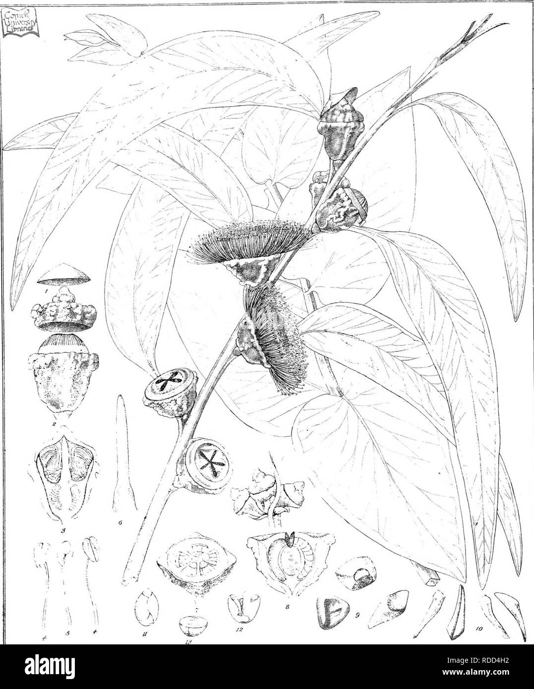 . Eucalyptographia. A descriptive atlas of the eucalypts of Australia and the adjoining islands;. Eucalyptus; Botany. Ttd'c -A. C7r-fie:>^ C'L:i}. Sl;eam Litki Got P^mtag Office Meli) 3^(g|]3:y|tei §3.(s)!£)iIli^o /^. Please note that these images are extracted from scanned page images that may have been digitally enhanced for readability - coloration and appearance of these illustrations may not perfectly resemble the original work.. Mueller, Ferdinand von, 1825-1896. Melbourne, J. Ferres, Govt. Print; [etc. ,etc. ] - Stock Image