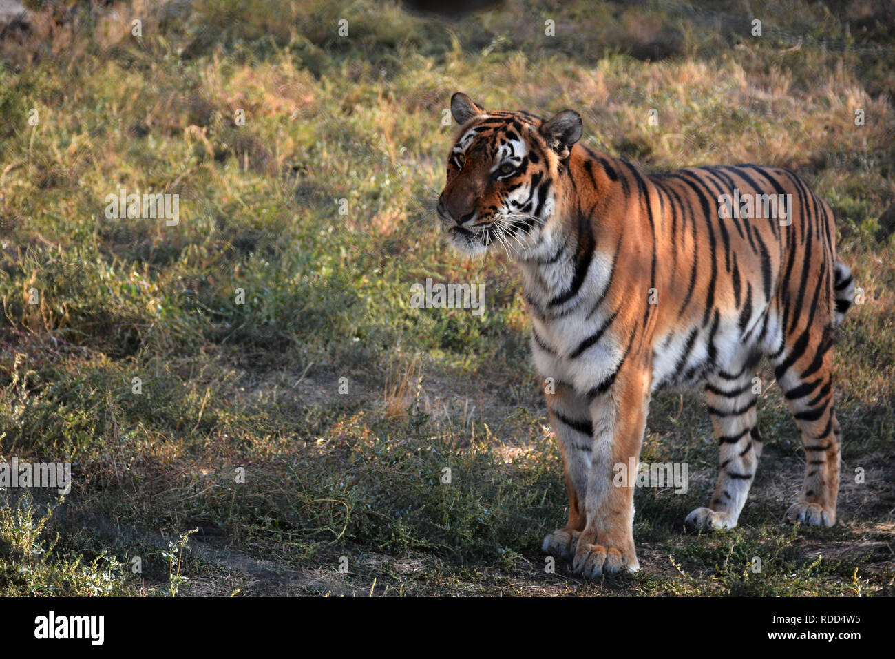 https://c8.alamy.com/comp/RDD4W5/a-bengal-tiger-also-known-as-indian-tiger-scientific-name-panthera-tigris-wildlife-with-danger-animal-tiger-in-zoo-armenia-RDD4W5.jpg