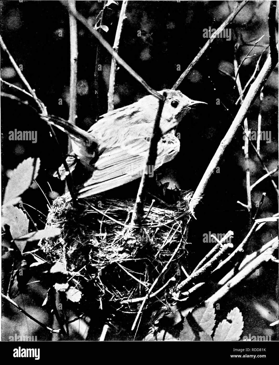 . The home life of wild birds; a new method of the study and photography of birds. Birds; Photography of birds. 14 Wild Birds. to work in the field or laboratory for weeks or months to attain a well-defined end, and that end he will attain, provided it can be compassed by intelligence, industry, and skill. Patience is the naturalist's stock in trade, and while no success ma)- come because of it alone, none can be assured without it. In the ten days or two weeks or more of life at the nest events move rap- idly and the question of time is important. Anj' interruptions are therefore opportunitie - Stock Image