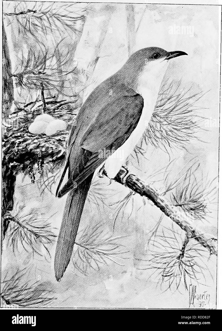 . Song birds and water fowl. Birds; Water birds. CUCKOO The poor cuckoos find themselves in a dilemma that baffles instinct itself (p. 106).. Please note that these images are extracted from scanned page images that may have been digitally enhanced for readability - coloration and appearance of these illustrations may not perfectly resemble the original work.. Parkhurst, Howard Elmore, 1848-1916; Fuertes, Louis Agassiz, 1874-1927. New York, C. Scribner's Sons - Stock Image