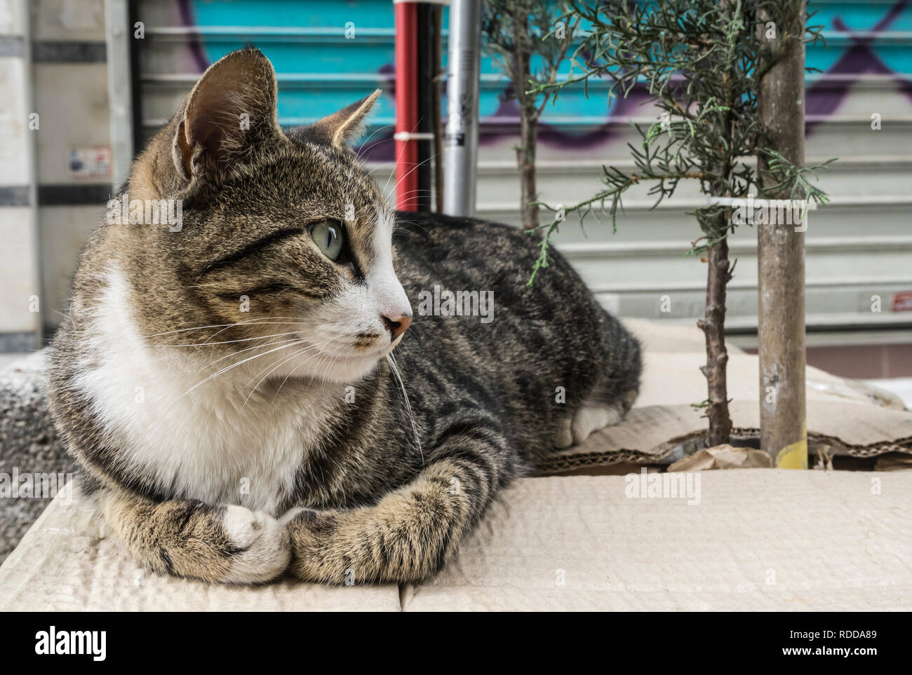 Istanbul streetcat Stock Photo