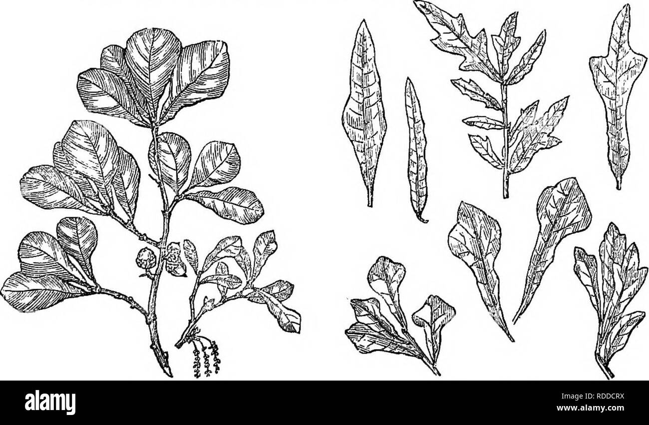 . Trees and shrubs : an abridgment of the Arboretum et fruticetum britannicum : containing the hardy trees and schrubs of Britain, native and foreign, scientifically and popularly described : with their propagation, culture and uses and engravings of nearly all the species. Trees; Shrubs; Forests and forestry. 1591. , Q, nigi-a. midst of the woods. The leaves are of a very remarkable shape, being dilated towards the summit, like a pear, and armed, when young, â with 3 or 5 bristle-like points, which fall off when the leaf has attained its full size. Fig. 1594., from Michaux's Histowe des Chene - Stock Image