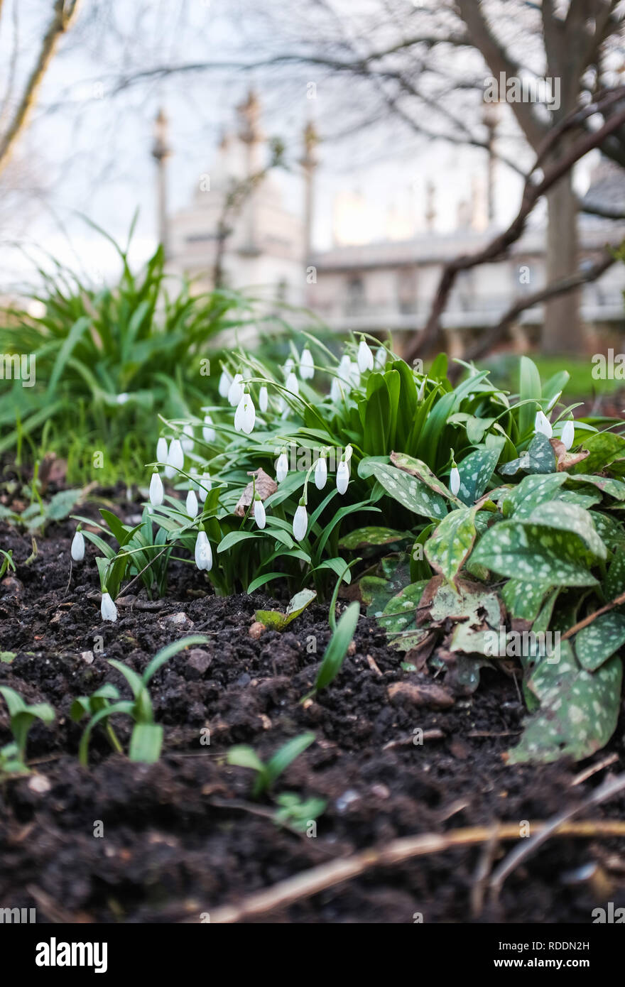 Brighton, UK. 18th Jan, 2019. Snowdrops ( Galanthus nivalis) shivering in Pavilion Gardens Brighton on a sunny but chilly winter morning as the cold weather is forecast to continue throughout Britain over the next few days Credit: Simon Dack/Alamy Live News - Stock Image