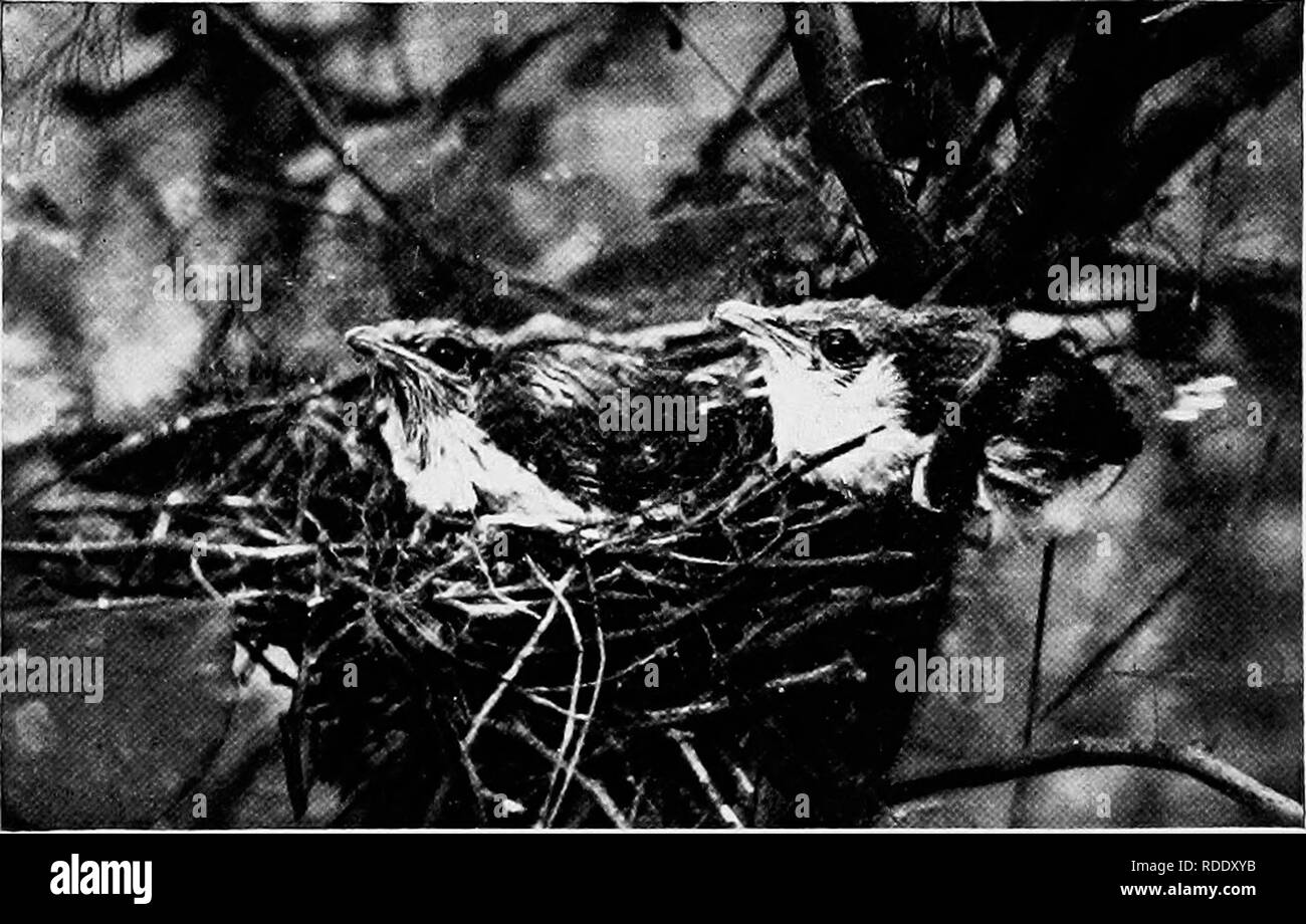. Camera studies of wild birds in their homes . Birds; Photography of birds. 158 ful. I carefully walked around the thicket and quietlj' parted the leaves. He was just returning with another caterpillar protruding from either side of his bill. He did not notice me and came directly to his nest which proved to he only about six feet from me. Instead of giving the mor- sel to young Cuckoos as I had expected, he passed it to his. Fig. 136. AT LAST—FEATHERS. mate who, as I afterwards learned, was closely sitting upon lier four blue eggs. It was an act of devotion that, know- ing Cuckoos as I thoug - Stock Image
