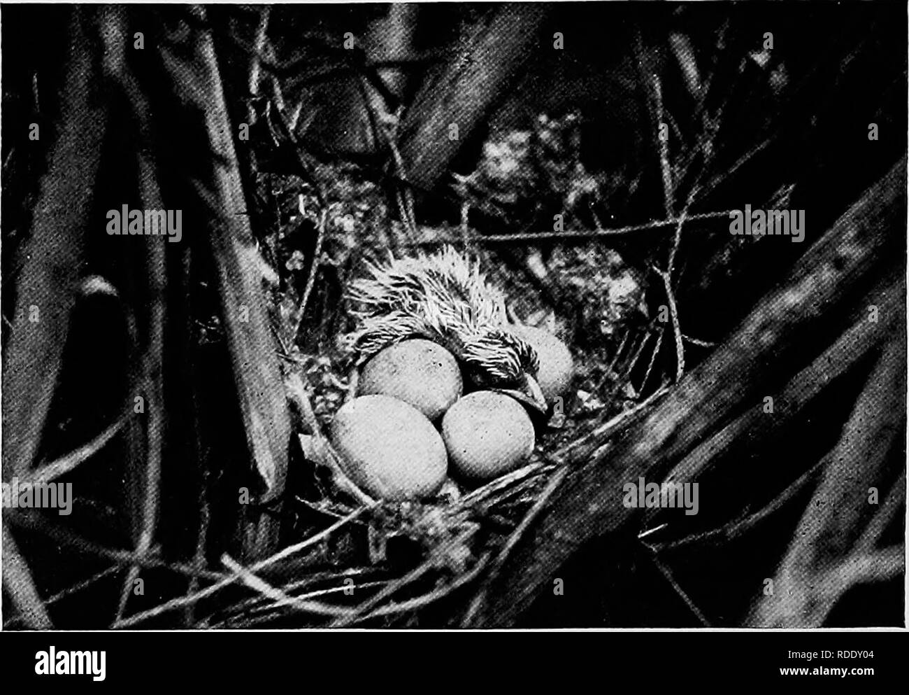 . Camera studies of wild birds in their homes . Birds; Photography of birds. 156 return either to the eggs or to feed young when I was pre- pared for picture-making. Some day I expect to find one whose home ties are stronger. Thejf do, however, have a degree of aifection for one another as the following will show:. Fig. 133. YELLOW-BILL'S—JUST HATCHING. Cuckoos are very fond of tent caterpillars, in fact they eat more of these hairy creatures than all the rest of the birds together. One day I saw a Black-bill Cuckoo sitting beside a large caterpillar nest. He would utter a few notes and then e - Stock Image
