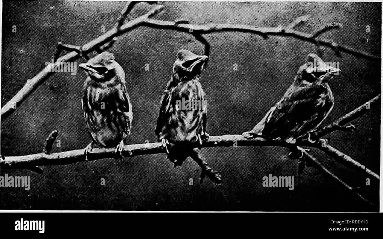 . Camera studies of wild birds in their homes . Birds; Photography of birds. 152. Fig. 129. YOUNG CEDARBIRDS. CUCKOOS. Two species of Cuckoos are commonly found in eastern North America, the Black-billed and the Yellow-billed. The former is the most abundant in the northern half of the United States and the latter in the southern half. The two species are very easily distinguished although beginners in bird study often get them confused. The Yellow-billed Cuckoo is the largest, has a yellow lower mandible and the outer tail-feathers are black with broad white tips. The Black-billed species has - Stock Image