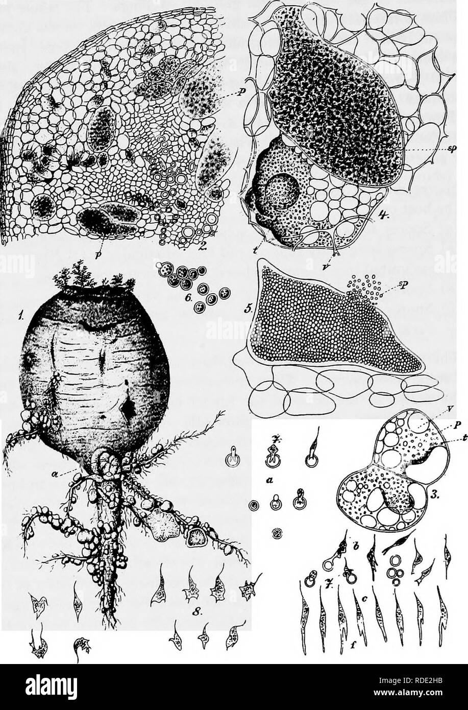. A text-book of mycology and plant pathology . Plant diseases; Fungi in agriculture; Plant diseases; Fungi. lO MYCOLOGY. Fig. I.—Club-root of cabbage, Plasmodiophora brassica. i, Turnip with club- root; 2, section of cabbage root with parenchyma cells filled with slime mould; 3, isolated parenchyma cell, (») vacuole, (0 oil-drops in Plasmodium, {p) Plasmodium; 4, lower cell with Plasmodium, upper cell with spores developing; 5, parenchyma cell with ripe spores; 6, isolated ripe spores; 7, germinating spores; 8, myxamoeba. (Figs. 2-8, cfter Woronin in Soraucr Ilandhuch dcr Pflanzenkrankheiten. - Stock Image