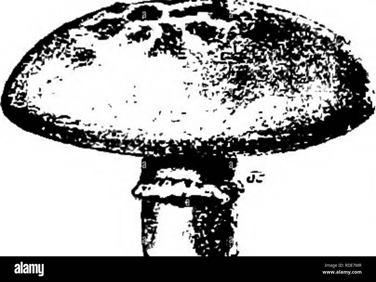 . Mushrooms : how to grow them : a practical treatise on mushroom culture for profit and pleasure . Mushrooms. IKSKCT AND OTHER ENEMIES. 125 diseased it continues to be diseased, and it is a fact that if one mushroom in a clump has black spot we usually find that every mushroom in the clump has it. But mushrooms growing from the same bit of spawn and that come up an inch or two away from the spotted ones may be perfectly clean. Black spot has never occurred witli me in new beds, and seldom in those in vigorous bearing, but it generally appears in beds that have been in bearing condition for so - Stock Image