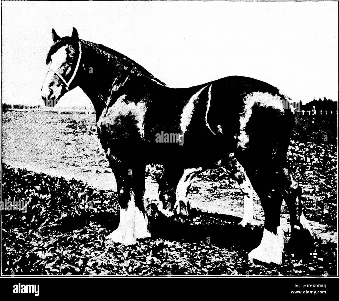 . Types and breeds of farm animals . Livestock. THE CLYDESDALE 121 importation. In the early eighties they were brought over in larger numbers, especially in 1881, and between then and 1892 the trade increased greatly and several thousand stallions and mares were brought across the water and distributed over the country. Clydesdales of merit in America date back to their early impor- tation. Of these the following may be mentioned as of special. Fig. 44. Princess Handsome. One of the notable American-bred Clydesdale mares. First-prize winner at International Live Stock Exposition, Chi- cago, i - Stock Image