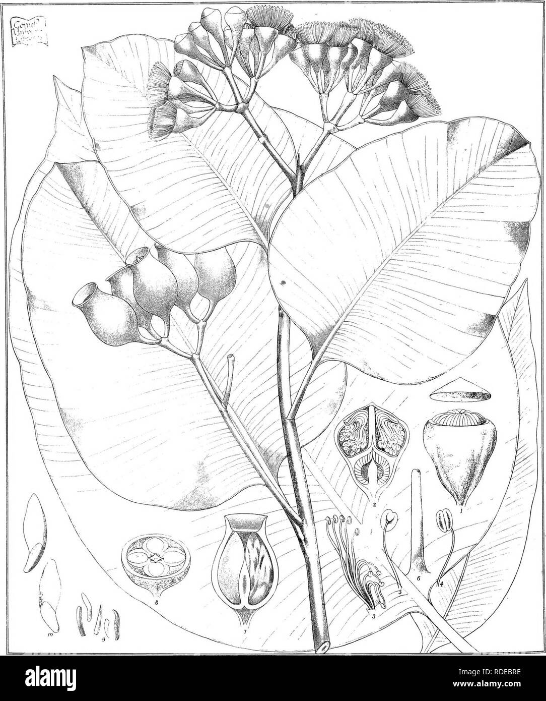 """. Eucalyptographia. A descriptive atlas of the eucalypts of Australia and the adjoining islands;. Eucalyptus; Botany. Todl -ifl C Troeael * C LitK. F. V. M direxiL. Steam Lilho Gov Printing Office Melb lwM