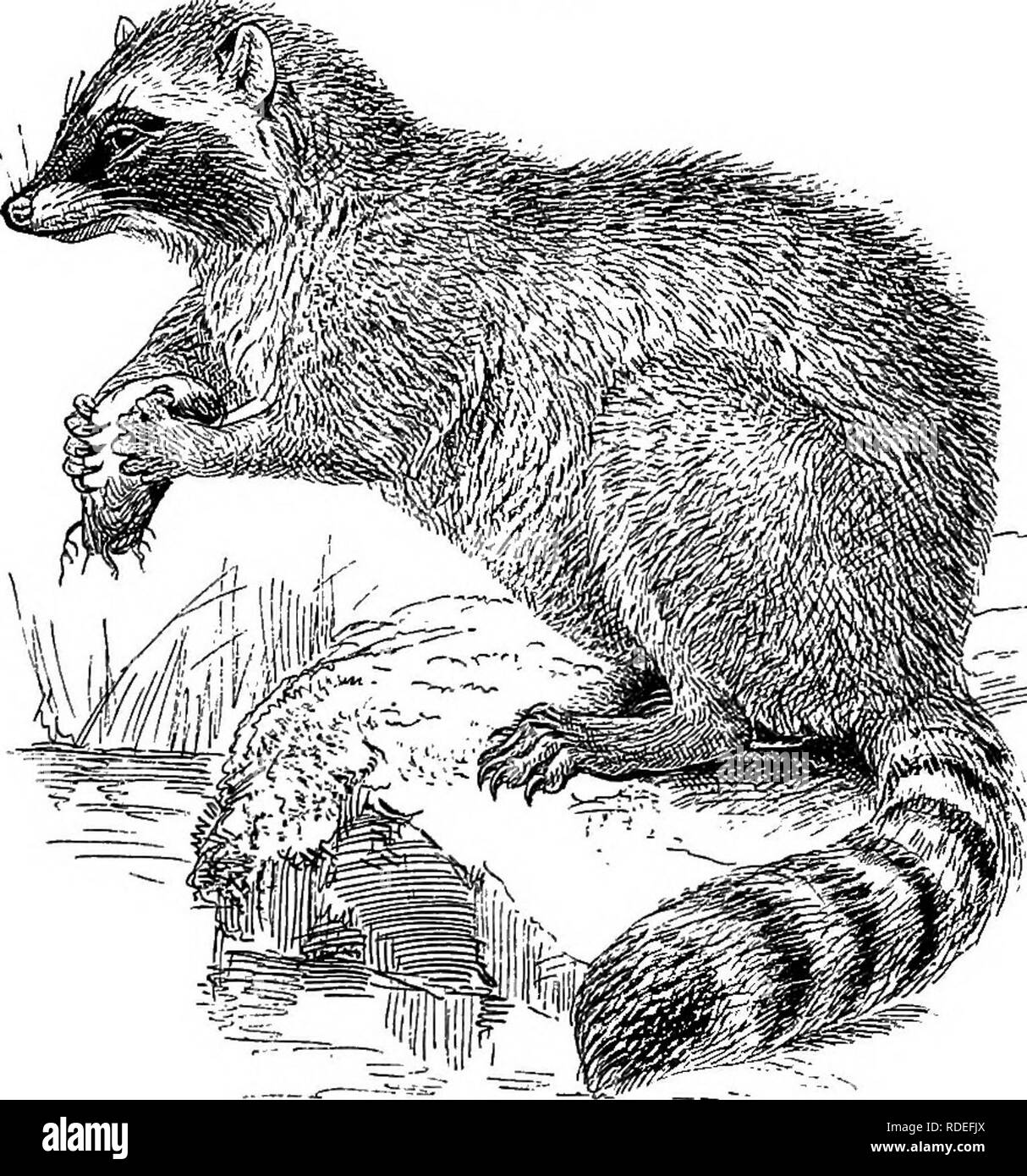 . American types of animal life. Zoology; Animal behavior. 212 TYPES OF ANIMAL LIFE racoons are caught in traps. They are not swift runners, and if pursued take to a tree. The racoon, though cap- able of being made a pet of, cannot be let loose with inipunity, on account of its great curiosity, which leads Fig. 58.. THE RACOON, it to find its way into the house and examine everything. It is very fond of sweets, and will remove covers from dishes, corks from bottles, and soon learn to unlatch doors. Its natural range extends all over the United States, both north to Alaska, and south to Costa E - Stock Image