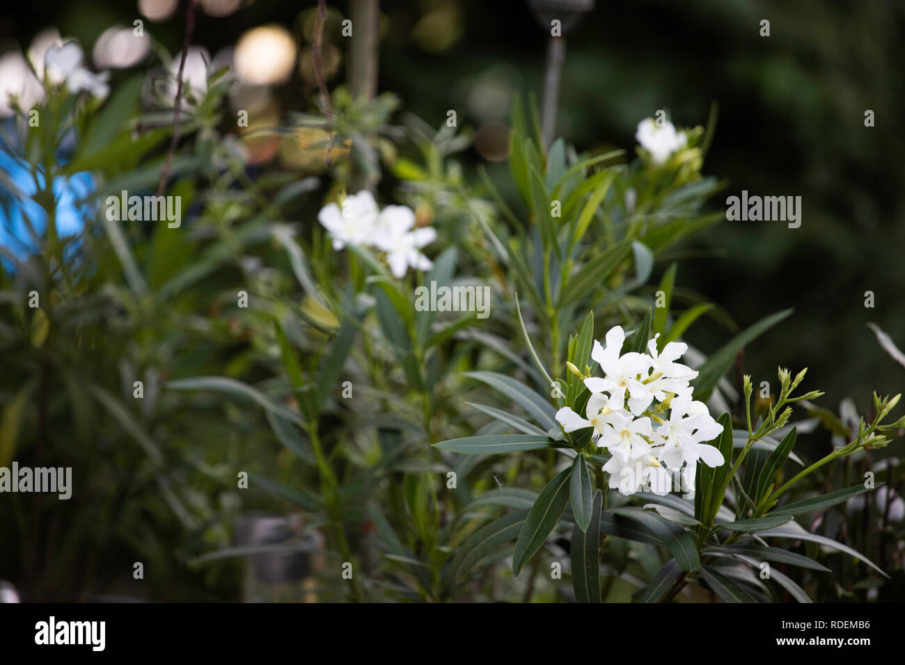 Bodendecker weiss Garten sommer terrasse Stock Photo