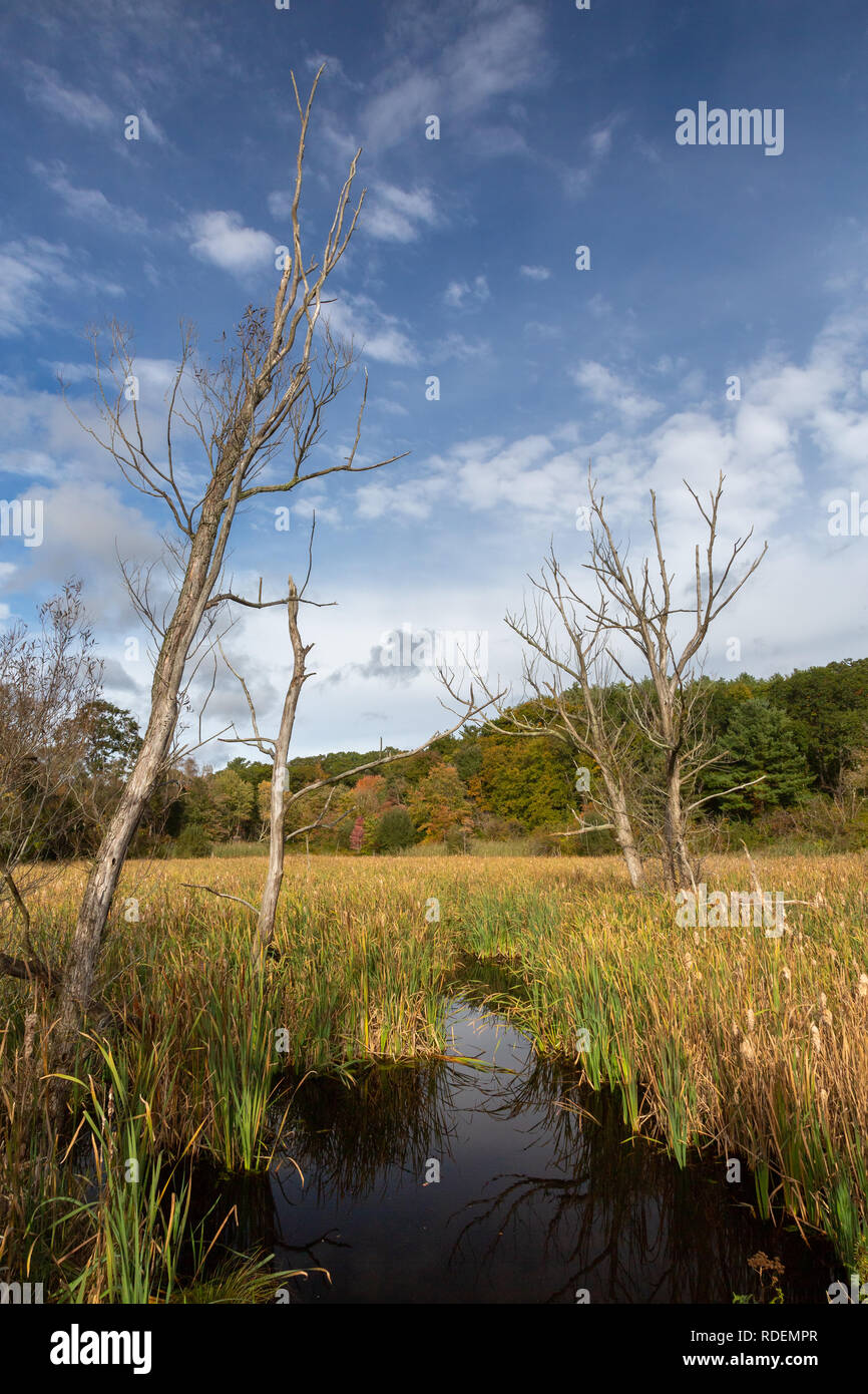 A pond covered with cattails below leafless trees. Manchester-by-the-Sea, Massachusetts Stock Photo