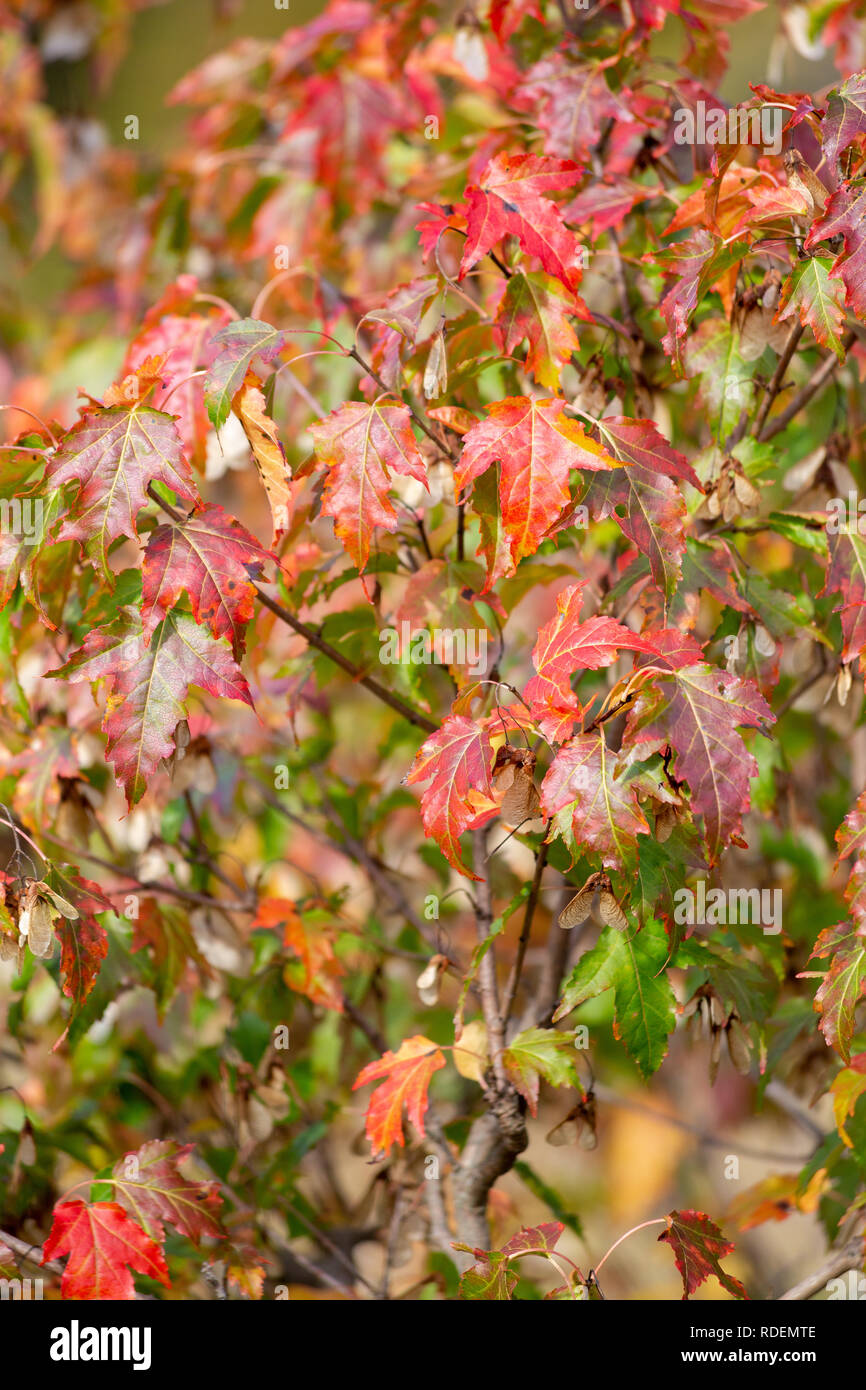 Fall maple leaves changing on a small maple tree near a pond. Manchester-by-the-Sea, Massachusetts Stock Photo