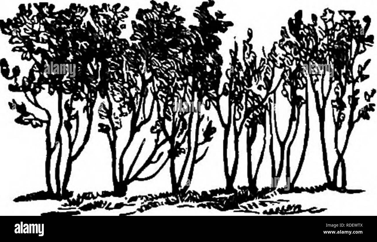 . The American fruit culturist, containing directions for the propagation and culture of all fruits adapted to the United States. Fruit-culture. SOIL, MANURES, SITUATION, AND ENCLOSURES. 57 Norway spruce will also make a fine hedge-tree. It grows with great vigor and may be freely shortened back. Probably the very best shrub for making a handsome, quick- growing hedge is the California Privit (Ligustrum ovalifo- lium). It can be purchased from nurserymen eighteen inches to three feet high in lots of one hundred, at moderate prices. Set out from ten to twelve inches apart in good soil, it will, - Stock Image