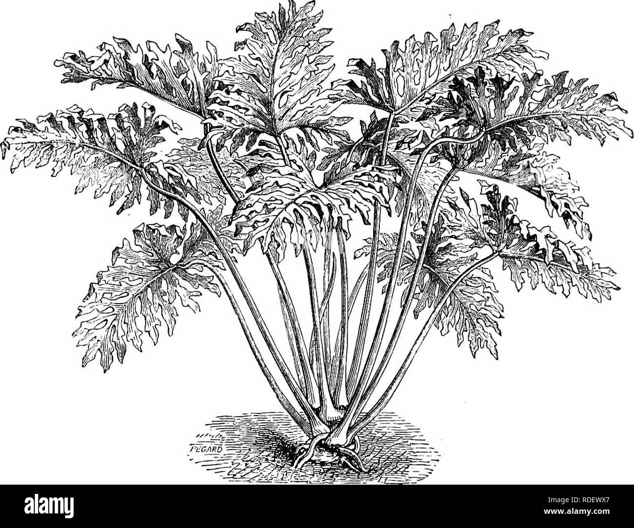 . The book of choice ferns : for the garden, conservatory, and stove : describing and giving explicit cultural directions for the best and most striking ferns and selaginellas in cultivation. Illustrated with coloured plates and numerous wood engravings, specially prepared for this work . Ferns; Ferns. MmmMMim© f) A PRACTICAL ENCYCLOPEDIA OF HORTICULTURE, FOR AMATEURS AND PROFESSIONALS. ILLUSTRATED WITH 2440 ENGRAVINGS.. Curator of the Royal Botanic Gardens^ Ketv ; Assisted by Prof. Trail, M.D., Rev. P. W. Myies, B.A., P.L.S., W. WatsoJt, J. Garrett, and other Specialists. In 4 Vols., large po - Stock Image