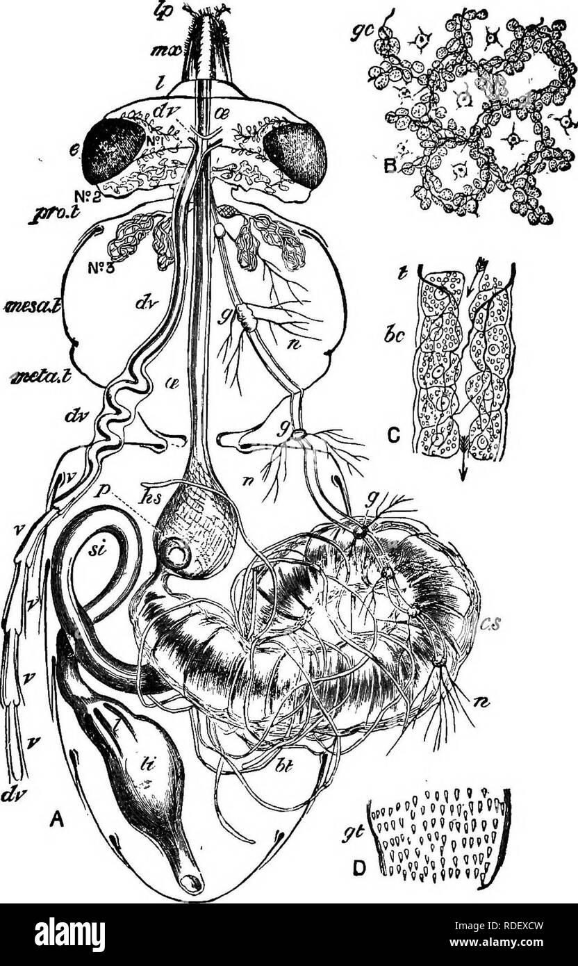 . Practical beekeeping. Bees. Fig. 4.—Digestive System of Bee (magnified ten times.) A, Horizontal section of body; Ip, labial palpus; mx, maxilla; e, eye; dr, dv, dorsal vessel; v, ventricles of the same; No. 1, No. 2, No. 3, salivary gland systems, 1, 2, 3; ae, oesophagus; pro. t, prothorax; mesa, t, mesathorax; meta. t, metathorax; g, g, ganglia of chief nerve chain; n, nerves; hs, honey sac; p, petaloid stopper of honey sac or stomach-mouth; c. s, chyle stomach; ht, biliary or -inalpighian vessels; si, small intestine; 1, lamellae or gland plates of colon; li, large Intestine. B, cellular  - Stock Image