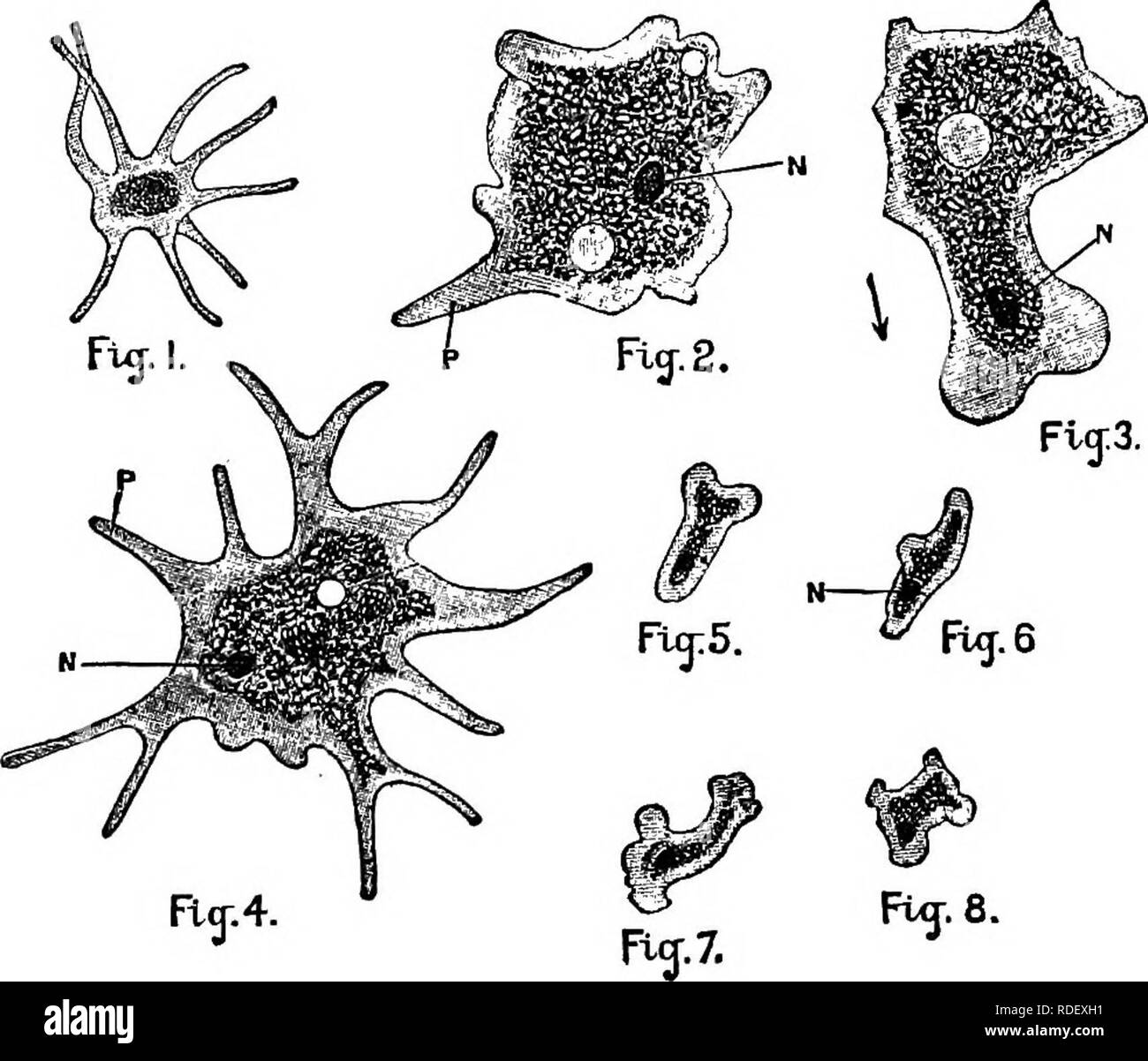 . Animal activities; a first book in zoo?logy. Zoology; Animal behavior. ONE-CELLED ziNIM/tLS MND SPONGES. 117 under the microscope looks like a drop of moving jelly of irregular outline. The greater part of the Amoeba is granular in structure, being surrounded by an outer film of clearer jelly. In the midst of the cell is a nucleus, a little more opaque than the rest of the cell but made of the same substance. The jelly-like sub- stance of which the whole Amoeba is made is called. Fig. 99.—Forms of Amcebae (highly magnified). 2 and 3 were drawn from the same specimen; 5, 6, 7, and 8 were draw - Stock Image