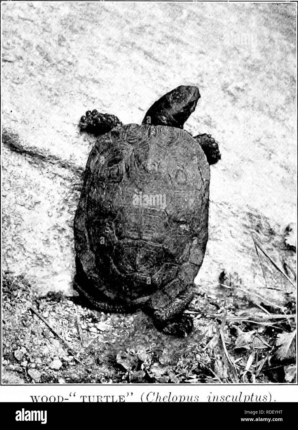 ". The American natural history; a foundation of useful knowledge of the higher animals of North America. Natural history. 328 ORDEES OF REPTILES—TORTOISES, TiiiiKArUxb, Aivj^ jLuiixxj^o in outlinp, and its scales are marked by inde- pendent black patterns composed of many geo- metric figures, placed one within another. A. WOOD-"" turtle"" (Chclopiis iii^culplu Back rugose. An exception to the rule of Sniooth- xShelled Terrapins. specimen with a ijlastroii seven inches long, and weighing a pound is a large one. Formerly the great majority measured between 4 and .5 inches; but now, it is - Stock Image"