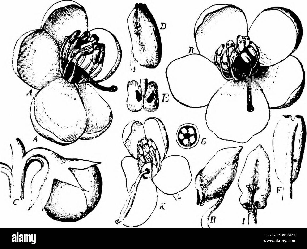 . Handbook of flower pollination : based upon Hermann MuÌller's work 'The fertilisation of flowers by insects' . Fertilization of plants. ERICACEAE 53 stigma, upon which are damp glistening spots (considered as nectar by Ricca), that visitors lick, at the same time depositing any pollen adhering to their proboscis. Finding no nectar they climb up the style, attracted by the orange-yellow horns of the anthers, and busy themselves with the pollen, so that the proboscis is again dusted. Crossing is therefore easily effected by insects, but Hermann Miiller says that the projecting position of the  - Stock Image
