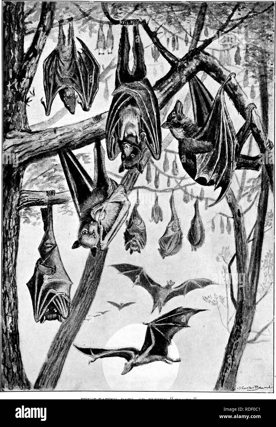. The American natural history; a foundation of useful knowledge of the higher animals of North America. Natural history. FRUIT-EATING BATS, OR FLYING FOXES.. Please note that these images are extracted from scanned page images that may have been digitally enhanced for readability - coloration and appearance of these illustrations may not perfectly resemble the original work.. Hornaday, William Temple, 1854-1937. New York, C. Scribner's Sons Stock Photo