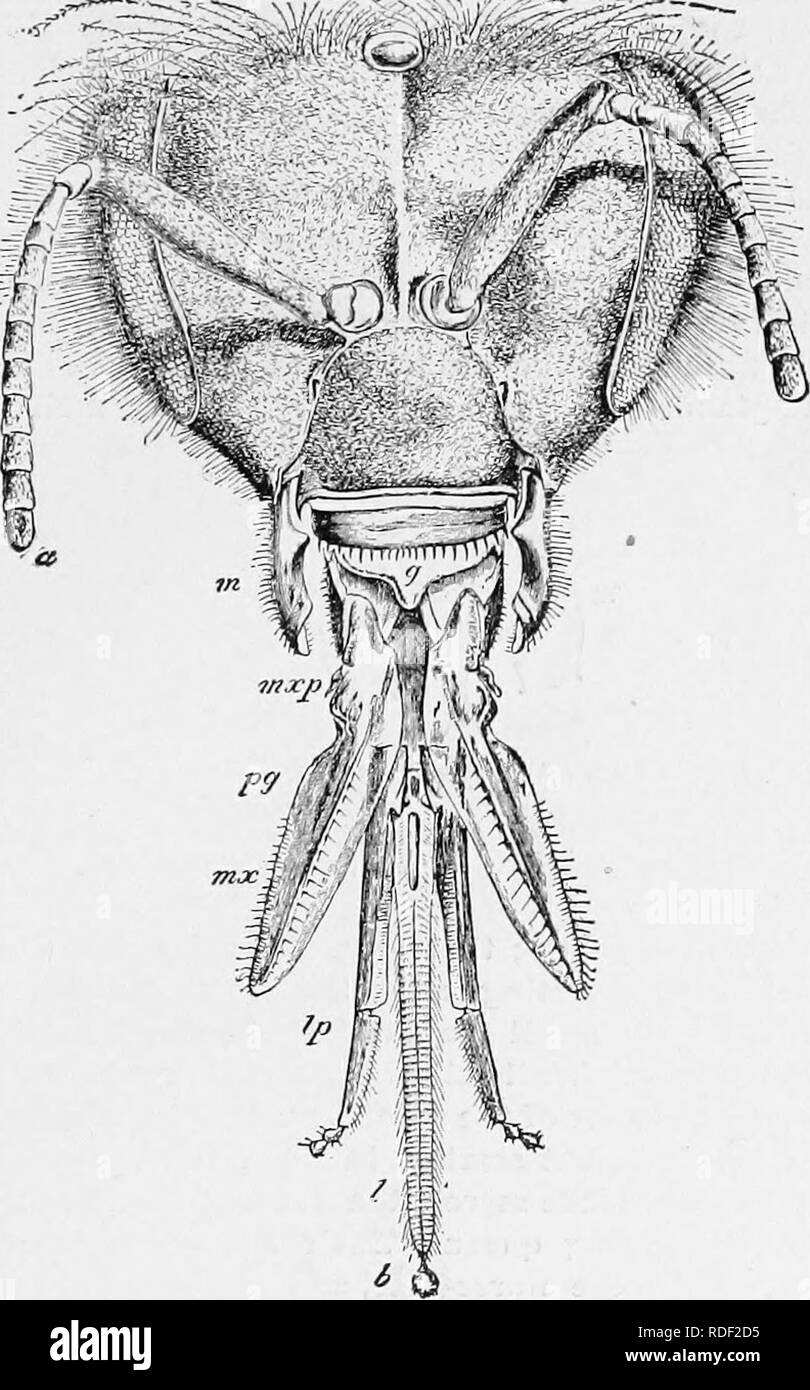 . The bee-keeper's guide : or Manual of the apiary . Bee culture; Bees. or, manual of thb apiary. Fig. 56. 13S. Head and Tongue of Bee, magnified twelve (From Department of Agriculture.) a Antenna. m Mandibles. g Epipharynx. mxp Maxillary palpus. p g Paraglossa. m X Maxilla. Ip Labial palpus. I Ligula. 6 Funnel of tongue.. Please note that these images are extracted from scanned page images that may have been digitally enhanced for readability - coloration and appearance of these illustrations may not perfectly resemble the original work.. Cook, Albert John, 1842-1916. Chicago. Ill. : George W - Stock Image