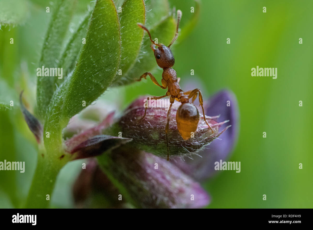 Macro shot of a busy ant - Stock Image