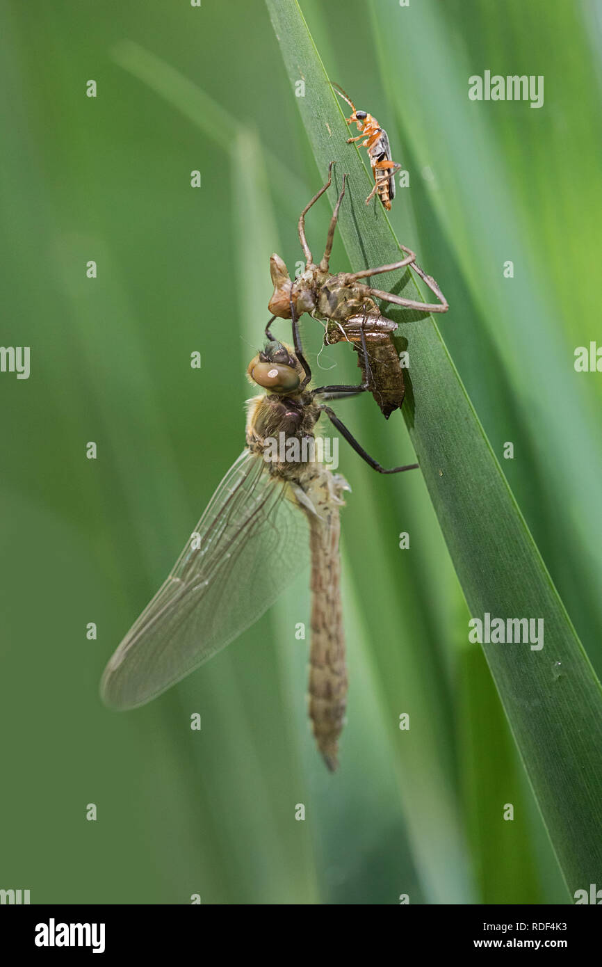 a dragonfly is born - Stock Image